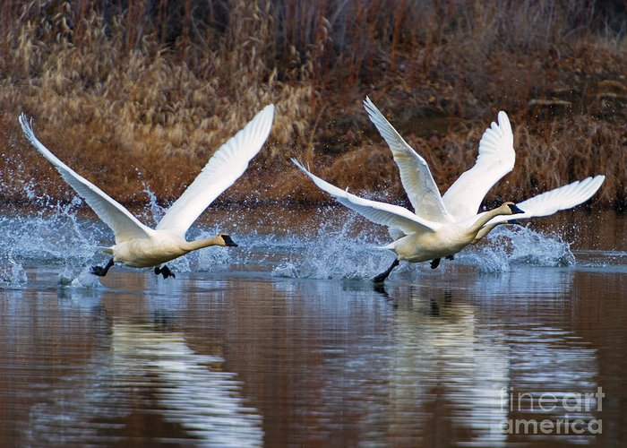 Swans Greeting Card featuring the photograph Water Dance by Mike Dawson