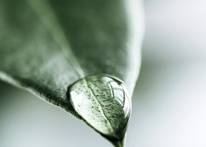 Leaf Greeting Card featuring the photograph Water Drop On Leaf by Elena Elisseeva
