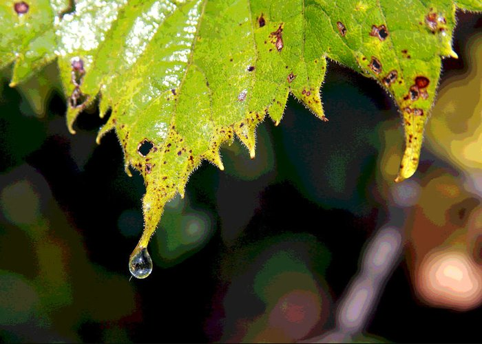 Water Greeting Card featuring the photograph Water Droplet On Leaf by Greg Thiemeyer