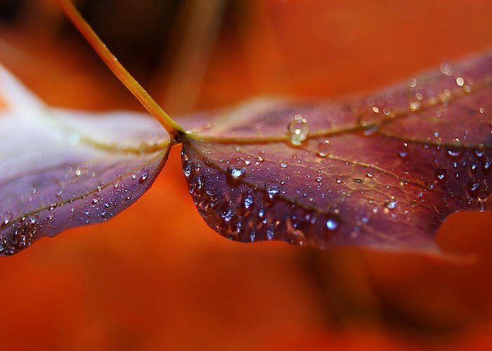 Diamond Greeting Card featuring the photograph Water Droplets On Red Autumn Leaf by Sylvie Corriveau