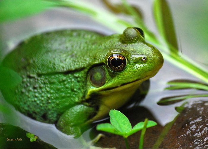 Green Frog Greeting Card featuring the photograph Water Garden by Christina Rollo