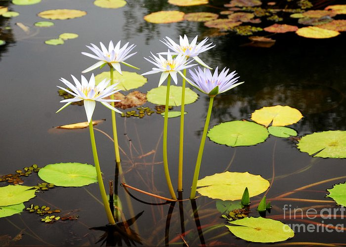 Water Greeting Card featuring the photograph Water Lilies by Karin Stein