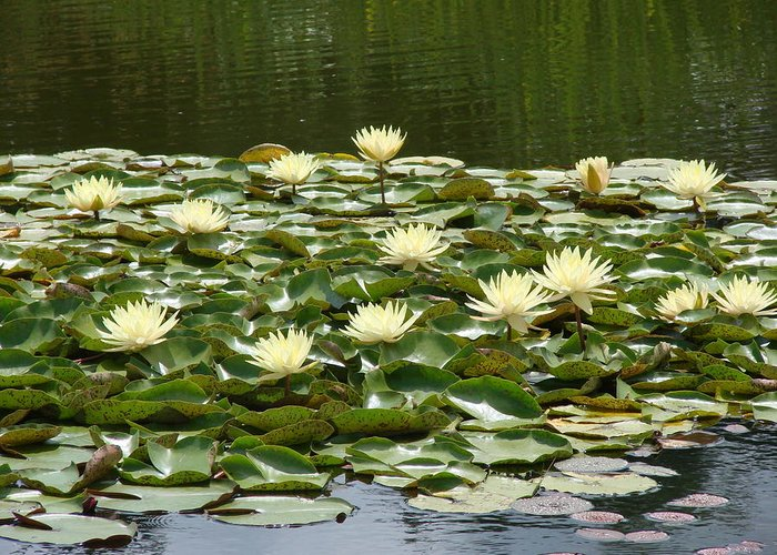 Water Greeting Card featuring the photograph Water Lillies by Barbara Fonseca