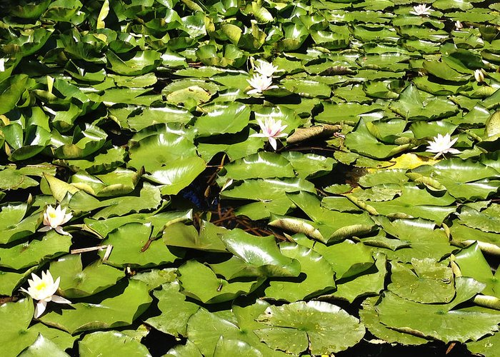 Aquatic Greeting Card featuring the photograph Water Lillies by Les Cunliffe
