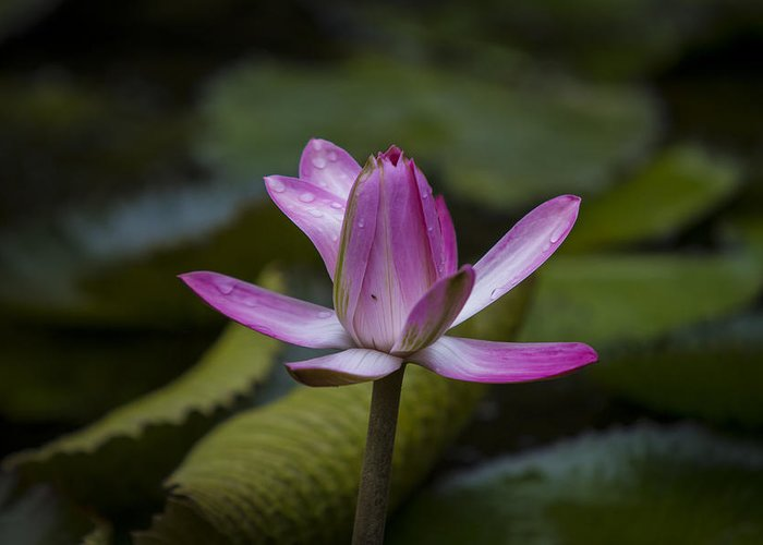 Water Lilly Greeting Card featuring the photograph Water Lillies8 by Charles Warren