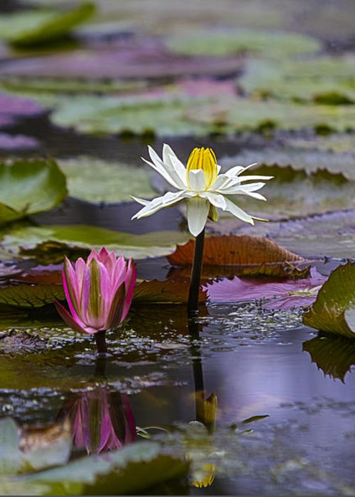 Water Lilly Greeting Card featuring the photograph Water Lillies9 by Charles Warren