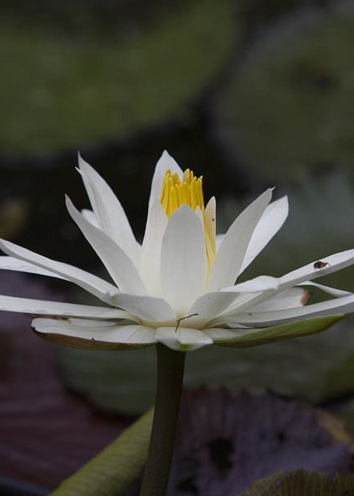 Water Lilly Greeting Card featuring the photograph Water Lilly7 by Charles Warren