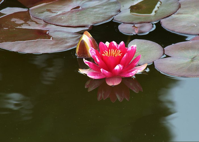 Water Lily Greeting Card featuring the photograph Water Lily by Chris Day