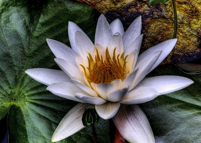 Water Lilly Greeting Card featuring the photograph Water Lily by David Patterson