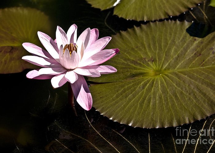 Water Llilies Greeting Card featuring the photograph Water Lily by Heiko Koehrer-Wagner