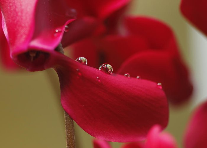 Macro Greeting Card featuring the photograph Waterflower Drops by Simon Gregory