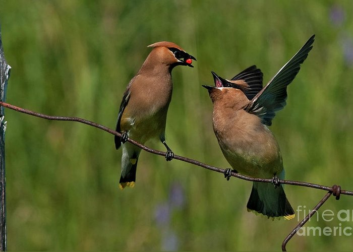 Festblues Greeting Card featuring the photograph Waxwing Love.. by Nina Stavlund