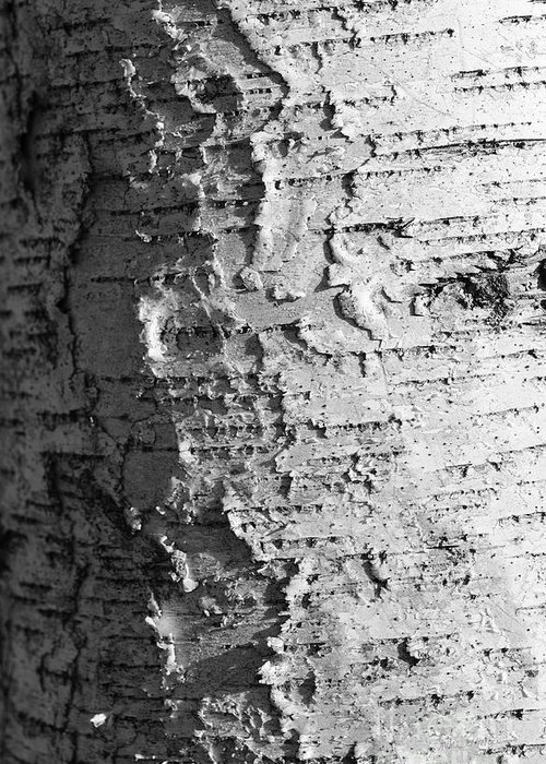 Birch Greeting Card featuring the photograph Weathered by Luke Moore
