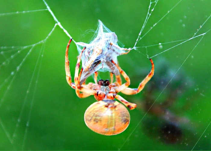 Orb Spider Greeting Card featuring the photograph Weaving Orb Spider by Candice Trimble