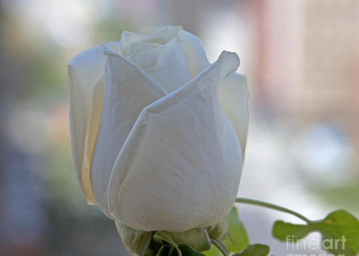 White Rose Greeting Card featuring the photograph Wedding Flower by Sean Conklin