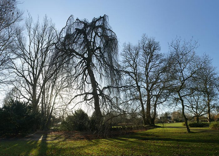 Weeping Beech Greeting Card featuring the photograph Weeping Beech by Erik Tanghe