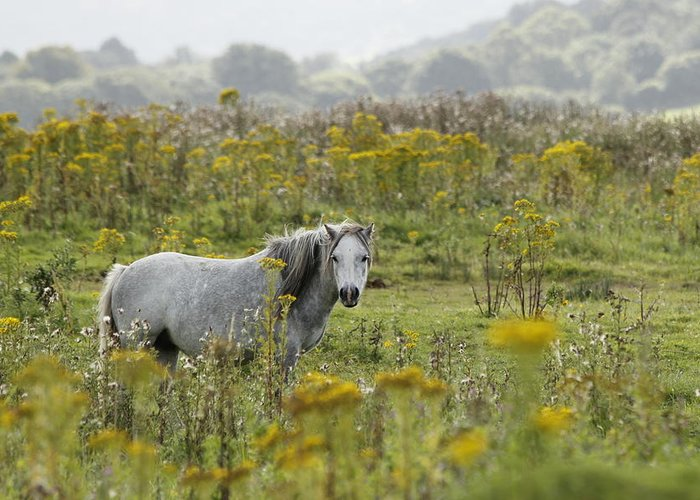 Wales Greeting Card featuring the photograph Welsh Pony by Simon Gregory
