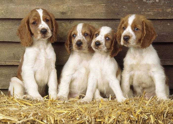 Welsh Springer Spaniel Puppies Greeting Card