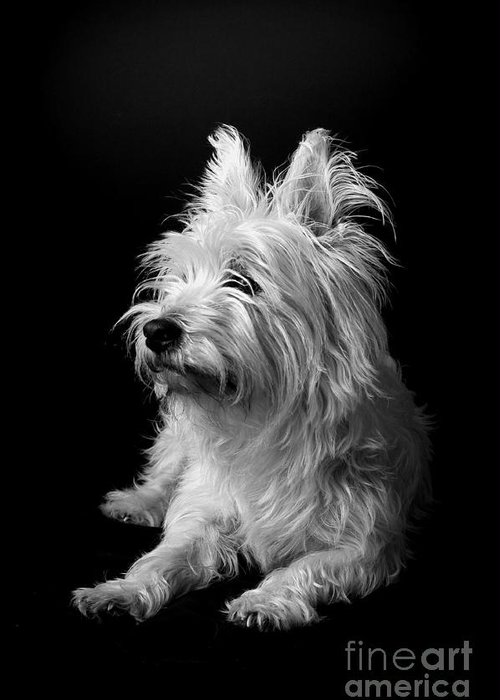 West Highland Terrier Black And White Image Greeting Cards