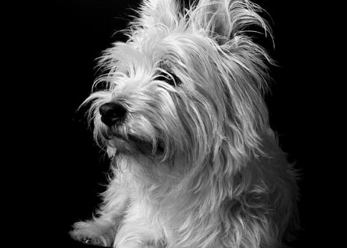 West Highland Terrier Black And White Image Greeting Card featuring the photograph Westie by Catherine Reusch Daley