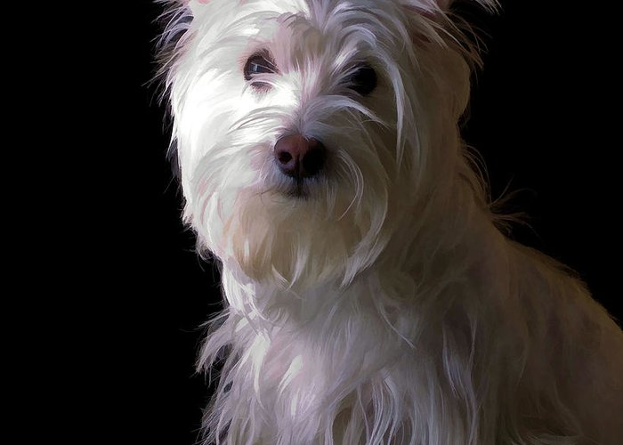 Westie White Highlands White Terrier Dog Canine Photography Painting Decoration West Cute Adorable Best Seller Bestseller Greeting Card featuring the photograph Westie Drama by Edward Fielding