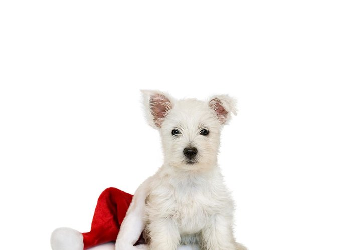 Photo Greeting Card featuring the photograph Westie Puppy And Santa Hat by Natalie Kinnear