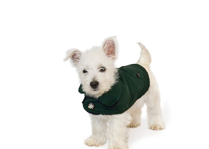 Photo Greeting Card featuring the photograph Westie Puppy In A Coat by Natalie Kinnear