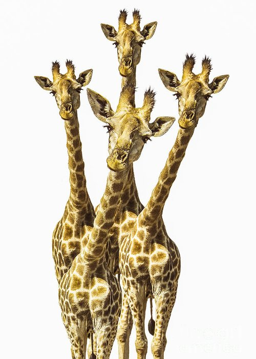 Giraffe Greeting Card featuring the photograph What Are You Looking At? by Diane Diederich