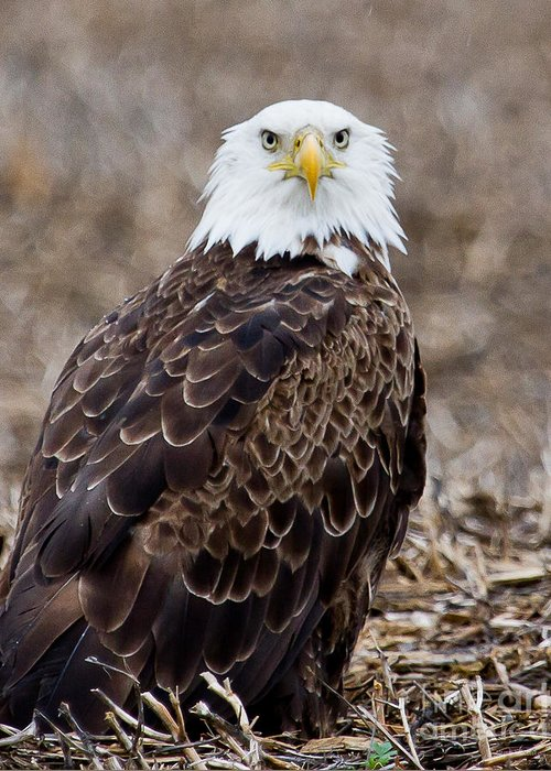 Eagle Greeting Card featuring the photograph What by Jan Killian
