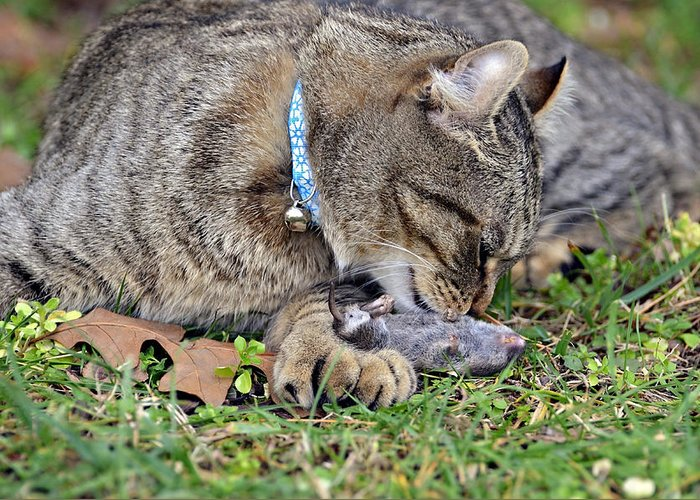 Cat; Mole; Animal; Domestic; Wild; Hunt; Hunter; Prey; Catch; Eat; Mammal; Gray; Tabby; Highlander; Lynx; Nature; Environment; Pest; Rodent; Expression; Face; Striped; Fur; Predator Greeting Card featuring the photograph What's For Dinner by Susan Leggett