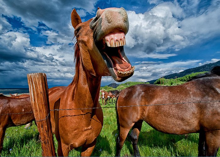 Horse Mule Teeth Funny Laugh Animal Equine California Blue Sky Cloudy Grass Green Mouth Cowboy Day Greeting Card featuring the photograph What's So Funny by Cat Connor