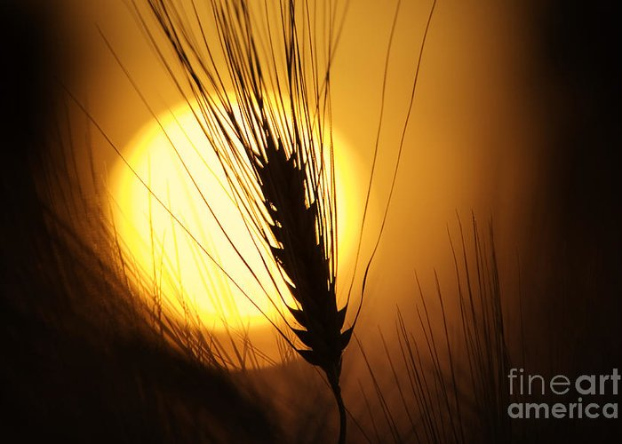 Sunset Greeting Card featuring the photograph Wheat At Sunset by Tim Gainey