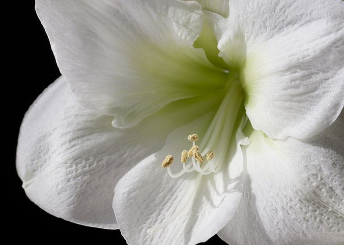 3scape Greeting Card featuring the photograph White Amaryllis by Adam Romanowicz