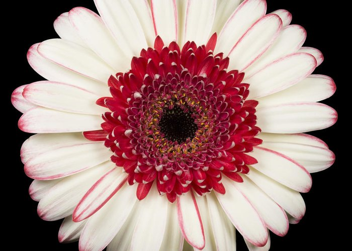 3scape Photos Greeting Card featuring the photograph White And Red Gerbera Daisy by Adam Romanowicz