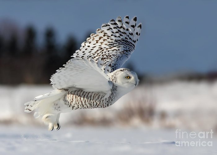 Art Greeting Card featuring the photograph White Angel - Snowy Owl In Flight by Mircea Costina Photography