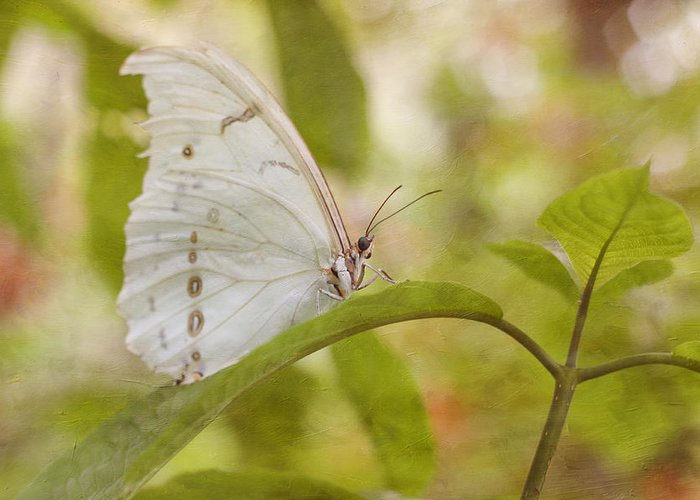 Butterfly Greeting Card featuring the photograph White Beauty by Kim Hojnacki