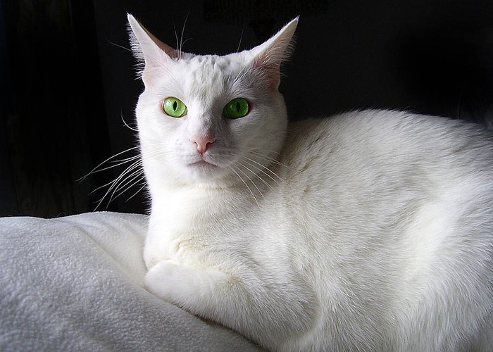 White Cat Green Eyes Greeting Card For Sale By Donna Hickerson