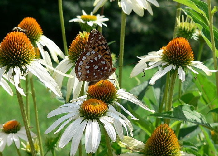 Flower Greeting Card featuring the photograph White Coneflower 2 by Sandra Johnson