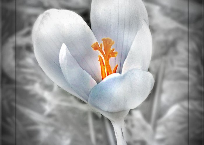 Floral Greeting Card featuring the photograph White Crocus by Mikki Cucuzzo