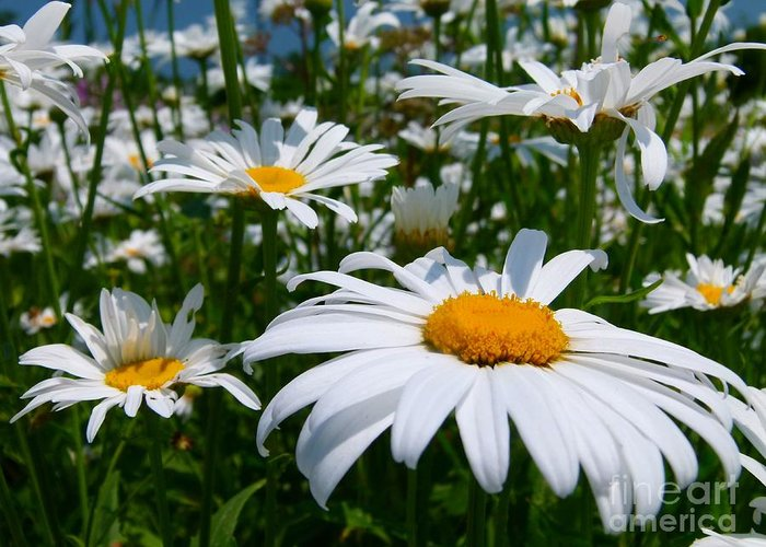 White Daisies Greeting Card featuring the photograph White Daisies by Christine Stack