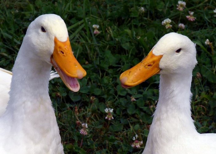 White Ducks Greeting Card featuring the photograph White Ducks Quacking by Christine Stack