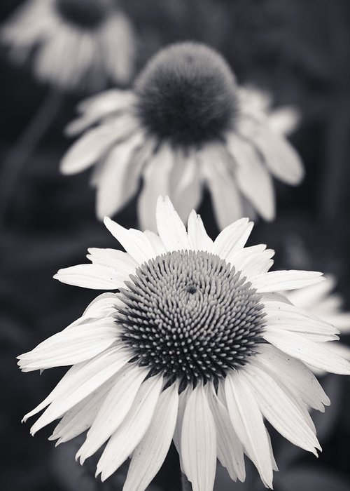 3scape Photos Greeting Card featuring the photograph White Echinacea Flower Or Coneflower by Adam Romanowicz