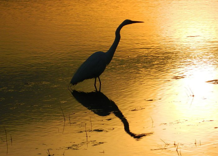 Egret Greeting Card featuring the photograph White Egret Reflection by Nancy Spirakus