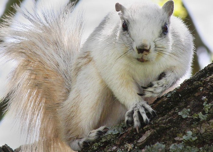Fox Squirrel Photographs Greeting Cards