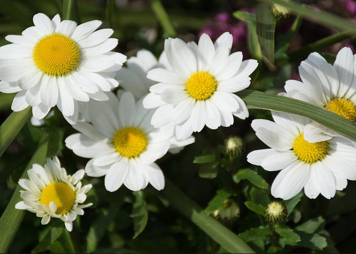 Daisy Greeting Card featuring the photograph White Gerbera Daisy by P Madia