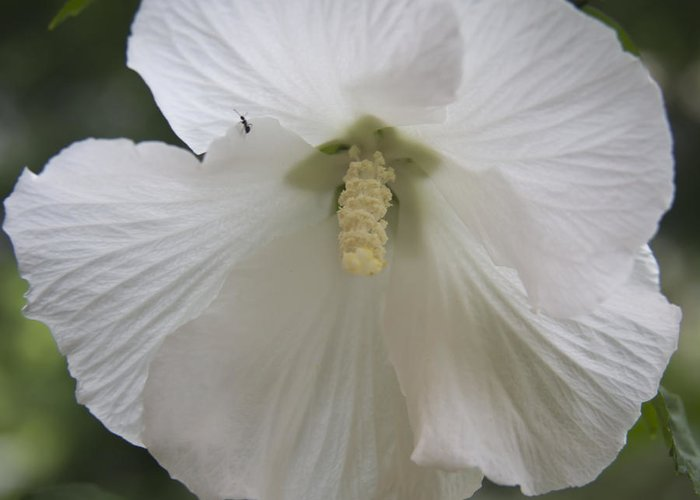 Rose Of Sharon Greeting Card featuring the photograph White Hibiscus Squared by Teresa Mucha