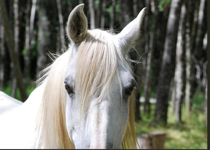 White Horse Greeting Card featuring the photograph White Horse Close Up by Jocelyn Friis