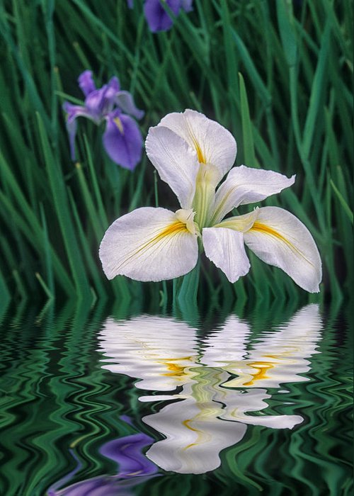 Flower Greeting Card featuring the photograph White Iris by Keith Gondron