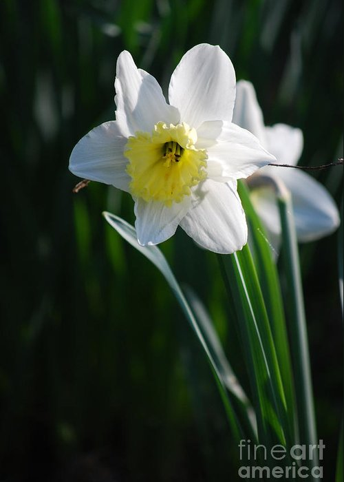 Close-up Greeting Card featuring the photograph White Narcissus by Sarka Olehlova