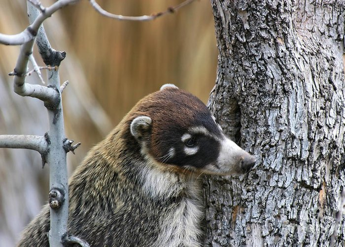 Coati Greeting Card featuring the photograph White-nosed Coati 2 by Al Andersen